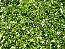 Fresh green plant leaves wall background with white flowers. (selective focus Royalty Free Stock Photos
