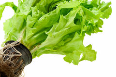 Fresh green plant lettuce. On a white background Royalty Free Stock Images