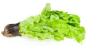 Fresh green plant lettuce. On a white background Stock Image