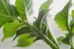 Fresh green potato plant stem macro lens. Fresh green potato plant stem - captured with macro lens stock photo