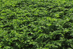 Fresh green potatoes plant field Stock Photo