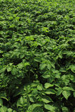 Fresh green potatoes plant field Royalty Free Stock Images