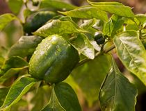 Fresh green produce growing capsicum Stock Images