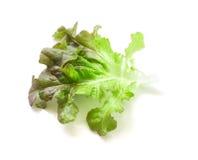 Fresh green and purple lettuce salad leaf vegetable on white bac Stock Image