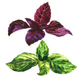 Fresh green and purple, red, basil leaves, isolated, watercolor illustration Royalty Free Stock Image