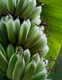 Fresh green raw bananas and leaf on the tree Stock Image