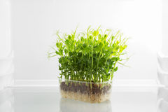 Fresh green raw sprouts in fridge Royalty Free Stock Photography