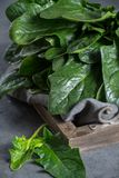 Fresh green raw wild spinach leaves. Healthy detox food Stock Images