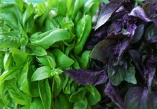 Fresh green and red basil,. Closeup royalty free stock photo