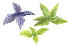 Fresh green and red basil. Watercolor illustration Stock Images