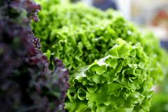 Fresh green and red lettuce Royalty Free Stock Photography