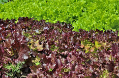 Fresh green and red lettuce salad Stock Images