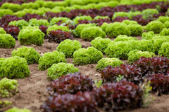 Fresh green and red lettuce salad field summer Royalty Free Stock Photography