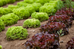 Fresh green and red lettuce salad field summer Stock Photos