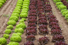 Fresh green and red lettuce salad field summer Royalty Free Stock Photo
