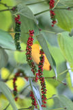 Fresh green and red peppercorns with leaf Royalty Free Stock Images