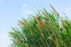 Fresh green reeds. On the bank of water reservoir Royalty Free Stock Photo