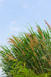 Fresh green reeds. On the bank of water reservoir Royalty Free Stock Image