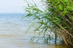Fresh green reeds. On the bank of water reservoir Royalty Free Stock Photography