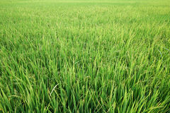 Fresh green rice field in suburb Bangkok, Thailand Royalty Free Stock Photography