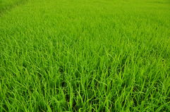 Fresh green rice fields Royalty Free Stock Image
