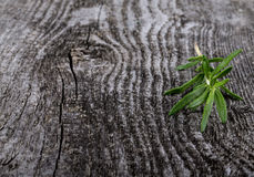 Fresh green ripe bright rosemary banch on old grey wood background Royalty Free Stock Image