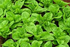 Fresh green romaine or cos lettuce in vegetable garden stock image