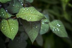 Fresh green rose leaf background, rain drops on the leaves. after the rain stock photos