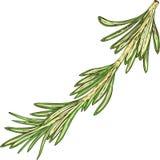 Fresh Green Rosemary Royalty Free Stock Image