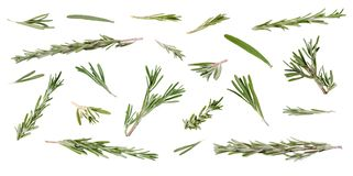 Fresh green rosemary leaves and twigs at different angles on whi. Fresh green rosemary leaves and twigs at different angles isolated on white background Royalty Free Stock Images