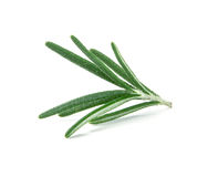 Fresh green Rosemary on a white background Stock Images