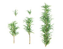 Fresh green Rosemary on a white background Stock Photo