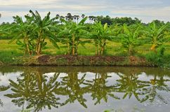 Fresh green of row banana bushes and reflection. In clear water of canal Royalty Free Stock Images