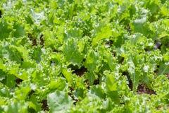 Fresh green ruffled edge lettuce in the garden. royalty free stock images
