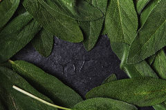 Fresh green sage Royalty Free Stock Images