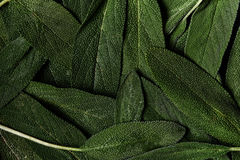 Fresh green sage Royalty Free Stock Image