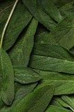Fresh green sage Royalty Free Stock Photo