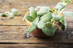Fresh green sage on the wooden background. Selective focus stock photo