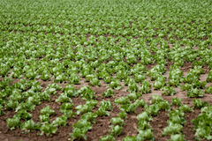 Fresh green salad cabbage on field summer agriculture Stock Photos