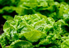 Fresh green salad in the garden Royalty Free Stock Images
