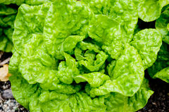 Fresh green salad in the garden Royalty Free Stock Photography