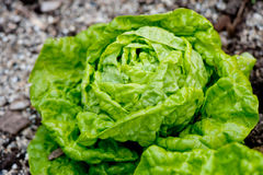 Fresh green salad in the garden Stock Images