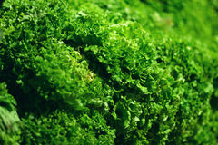 Fresh Green salad leaves background in market.  Stock Photos