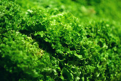 Fresh Green salad leaves background in market.  Royalty Free Stock Image