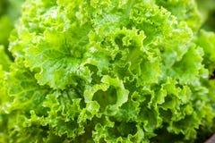 Fresh green salad lettuce Stock Photography