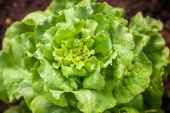 Fresh green salad lettuce Stock Photo