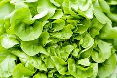 Fresh green salad lettuce closeup macro Royalty Free Stock Photography