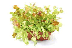 Fresh green salad plants in pot Stock Photography