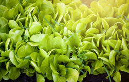 Fresh green salad at sunny day Stock Photos