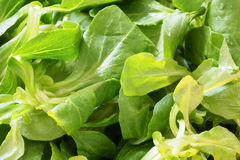 Fresh green salad leaves Stock Image